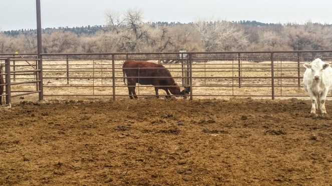 baby-calf