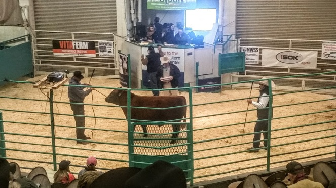 bull-in-show-ring-nwss