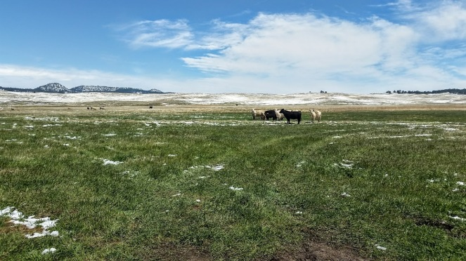 cows panorama