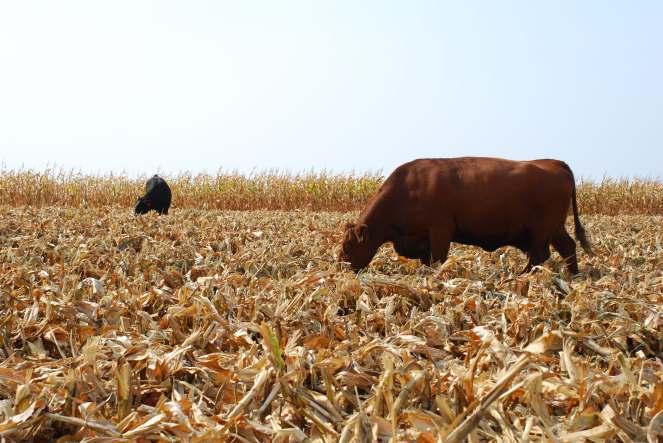 cornstalks.jpg