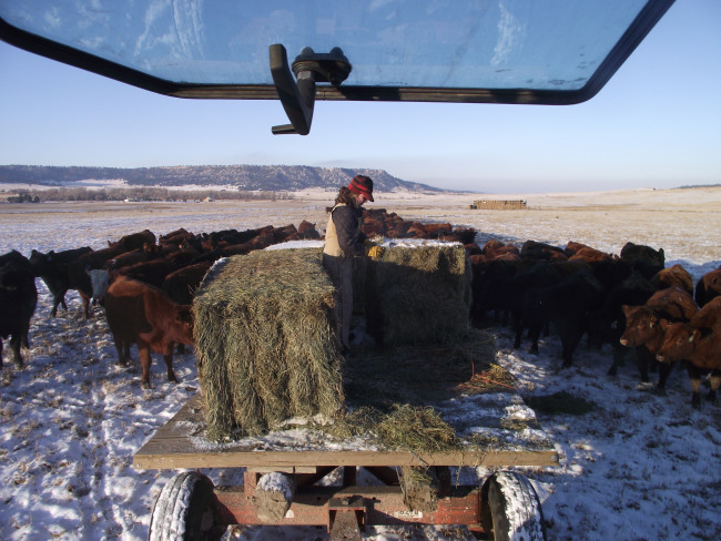 feeding cows december