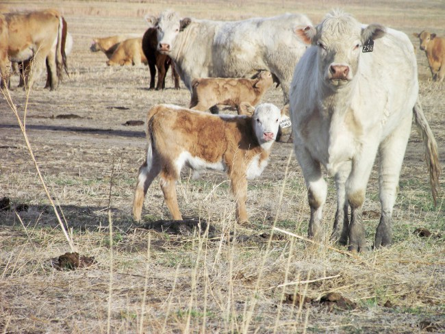 Flour the baby calf