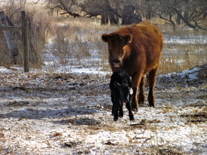 momma and baby calf